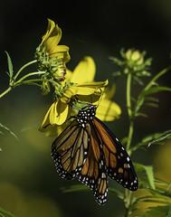 MonarchButterfly_SAF7545 (sara97) Tags: danausplexippus butterfly copyright©2018saraannefinke endangered insect missouri monarch monarchbutterfly nature photobysaraannefinke pollinator saintlouis