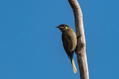 Lewin's Honeyeater 2 (RoosterMan64) Tags: australia australiannativebird bird honeyeater lewinshoneyeater nsw nature wildlife