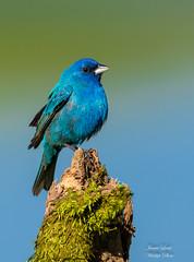 The Innocent Look (Jamie Lenh Photography) Tags: nature wildlife indigobunting nikond500 tamron150600 jamielenh