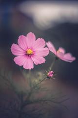 Cosmea (michel1276) Tags: konica hexanon hexanon5712 manualfocus manuell vintagelens oldlens bokeh bokehlicious bokehful bokehlove flower flowers flora flowerscolors cosmea blume
