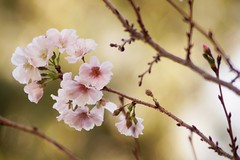 Cherry Blossom at Duke (hanley.will) Tags: god love jesus contemplativechristianity contemplativeprayer christ christianity cherryblossom sakura sakurablossom beautiful bloom blossom hope life stilllife soft softfocus lines meditation meditate tree flower flowers floral