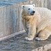white bear Shilka, was born in Novosibirsk, now he lives in Japan