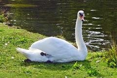 saß am Ufer (mama knipst!) Tags: schwan swan wasservogel bird rheinaue natur oktober