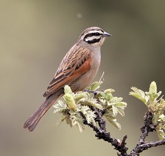 Cape Bunting (Larry Gridley) Tags: cape bunting