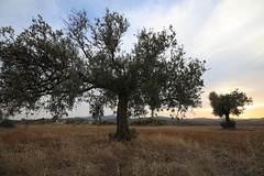 Sunset at Countryside (3) (Polis Poliviou) Tags: nature green tree wood root agriculture plant outdoors cyprustheallyearroundisland cyprusinyourheart yearroundisland zypern republicofcyprus ©polispoliviou2018 polispoliviou polis poliviou πολυσ πολυβιου leaf field mediterranean oleaeuropaea sunsetincyprus flora grass environment healthy beauty afiap motherearth art agricultural soil texture rough postcard brunch grey brown season countryside organic ecology ecological winter lovecyprus autumn olivo ulivo sunlight light sun sunset sunrise fall