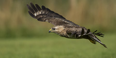 Buzzard (Wild) - The lazy birds guide to being a raptor (Ann and Chris) Tags: avian amazing awesome buzzard beak bird close flying feathers gliding hunting hawk impressive predator raptor stunning wildlife wild wings