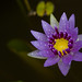 Colorata Waterlily