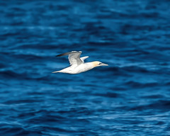 Scilly Gannet flying