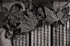 Light Spotted Leaves (pni) Tags: monochrome leaf light spot wood frieze sculpture kingdompekka nikrus skrubu pni friezesculpture2018 regentspark uk18 london uk england unitedkingdom pekkanikrus