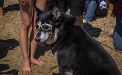 Chillin' (Robert Borden) Tags: sunglasses goggles beach huntingtonbeach huntingtondogbeach dogsurfing chillin coast la losangeles socal california cali westcoast southwest usa northamerica fuji fujifilmxt2 fujiphoto 50mm sand portrait animalportrait