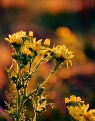 Magical Morning Dew (barbara_donders) Tags: natuur nature autumn fall herfst sunrise zonsopkomst dew dauw flowers bloemen yellow geel bokeh macro magisch magical beautiful mooi prachtig droplets