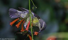 """1-No se me había ocurrido que su nombre común de """"PINCHITA"""" podía estar asociado al acto de """"PINCHAR"""" las flores para extraer su nectar como puede apreciarse en esta serie. Solo hoy se me ha encendido el bombillo sobre esta curiosidad (Cimarrón Mayor 15,000.000. VISITAS GRACIAS) Tags: ordenpasseriformes familiathraupidae génerocoereba pinchita pincha ciguirillin platanero bananaquit cigüita ciguítacomún mielero mielerocejiblanco mielerocomún plataneracomún reinita reinitacomún reinitamielera nombrecientificocoerevaflaveolabananivora nombreinglesbananaquit lugardecapturarrpsantodomingo repdom ave vogel bird oiseau paxaro fugl pássaro птица fågel uccello pták vták txori lintu aderyn éan madár cimarrónmayor panta pantaleón josémiguelpantaleón objetivo500mm telefoto700mm 7dmarkii canoneos canoneos7dmarkii naturaleza libertad libertee libre free fauna dominicano pájaro montañas dominicanrepublic quisqueya repúblicadominicana caribe républiquedominicaine caraïbes caraibi repubblicadominicana dominikanischerepublik karibik karaiby dominikana dominikarerrepublika karibe dominikanskerepublik caribien dominikanskerepublikk karibien"""