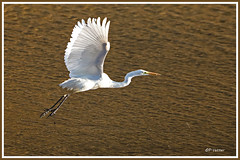 Aigrette vol 181021-01-P (paul.vetter) Tags: oiseau ornithologie ornithology faune animal bird échassier grandeaigrette aigrette ardeaalba greategret silberreiher casmerodiusalbus garçabrancagrande