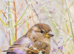 Lavender Love. (Omygodtom) Tags: wildlife bokeh bird songsparrow teenager nature natural nikon nikkor usgs sunshine nikon70300mmvrlens dof branch d7100 diamond 7dwf