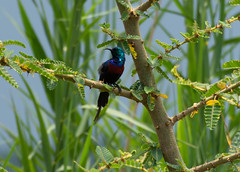 Iridescent bird near Katwe - red chested sunbird? (JohnMawer) Tags: queenelizabethnationalpark uganda africa katwe bird sunbird