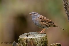 31102018-x3aDSC_3024 (Eyas Awad) Tags: passerascopaiola prunellamodularis eyasawad nikond800 nikond4 nikond500 sigma500f45 nikonafs300mmf4 tamron70200mmf28 bird birds birdwatching wildlife nature