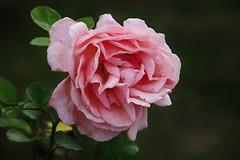 Rose (Hugo von Schreck) Tags: hugovonschreck rose flower blume blüte makro macro canoneos5dsr tamron28300mmf3563divcpzda010