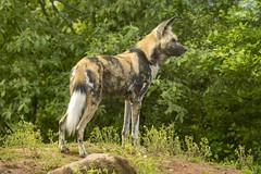 African Painted Dog (Gareth Christian) Tags: africanpainteddog camera catsdogs chesterzoo d750 lycaonpictus mammals nikon nikond750 chester england unitedkingdom gb