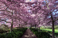 Springtime (Kiwi-Steve) Tags: cherryblossom tree pink lane landscape nikond7200 nikon colour colourful nz newzealand northisland waikato spring