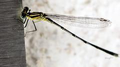 Ins Netz gegangen (seyf\ART) Tags: macro nahaufnahmen natur nature insekten insects