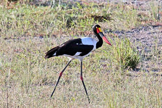 Saddle-billed Stork (Ephippiorhynchus senegalensis) Седлоклювый ябиру