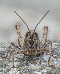 Field grasshopper stacked with helicon (Neil Phillips) Tags: acrididae caelifera chorthippusbrunneus fieldgrasshopper insecta orthoptera arthropod arthropoda bug common grasshopper hexapod insect invertebrate