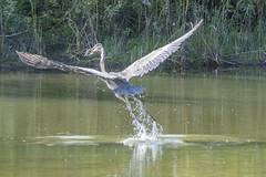 Heron (fotofrysk) Tags: greatblueheron ardeaherodias heron waterbird meal pray snack fish pond stormpond reeds green nature canada ontario markham city afsnikkor200500mm56eed nikond500 20180922269