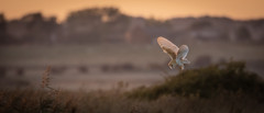 Barney at dusk (jim w-y) Tags: birdofprey dusk hunting kent owl barn