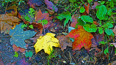 Leaves, Tischer Creek - Duluth MN USA, 10/06/18 (TonyM1956) Tags: elements sonyalphadslr sonyphotographing