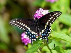 Black Swallowtail (Papilio polyxenes) (WRFred) Tags: butterfly nature wildlife backyardwildlife maryland montgomerycounty flower