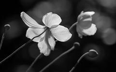 Autumnal Romance (AnyMotion) Tags: japaneseanemone herbstanemone anemonejaponica blossom blüte sunshine sonnenschein bokeh 2018 plants pflanzen anymotion nature natur blumen floral flowers frankfurt 7d2 canoneos7dmarkii garden garten bw blackandwhite sw autumn fall herbst automne otoño