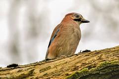 Jay (stellagrimsdale) Tags: jay log tree branch bird eye