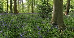 Bluebell Wood (captures.in.time) Tags: bluebells wood blue countryside britain uk dalkeith scotland travel landscape landscapephotography flowers trees birds ngm nationalgeographic lonelyplanet midlothian countryfile