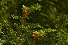 Yew Berries (elhawk) Tags: taxusbacata yew berries red yewberries