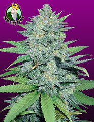 Green-Crack (Watcher1999) Tags: green crack weed seeds thc cannabis medical marijuana growing strain cannaculture growingmarijuana plant weeds smoking ganja legalize it