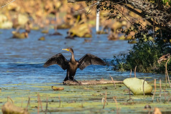 DOUBLE-CRESTED CORMORANT (nsxbirder) Tags: clarksville ohio clintoncounty cowanlake doublecrestedcormorant unitedstates us