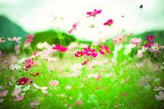 Blowin' in the Wind (moaan) Tags: tanba hyogo japan jp garden flowergarden cosmos cosmosbipinnatus cosmosflower wind autumn october focusonforeground selectivefocus depthoffield bokeh bokehphotograohy leica leicaphotography leicamp type240 noctilux 50mm f10 leicanoctilux50mmf10 utata 2018