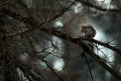 Crinière (M@rcassin) Tags: écureuil écureuilroux sciurusvulgaris squirrel animal animaux wild wildlife nature nikon nikond750 nikkor tamron tamron150600 alpesmaritimes alpes mercantour parcdumercantour arbre bokeh lumière light contrejour forest forêt montagne mountain
