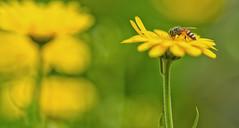 Bee on a yellow flower (@nikondxfx (instagram)) Tags: bee flowers yellow macro macrophotography pollen nikon tamronlens macrolens d750 tamron90mm nikond750 fullframe kolkata garden bokeh