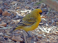 Yellow chat Epthianura crocea (Simon Grove (TMAG)) Tags: epthianura crocea