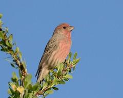 2018-09-28 Green Valley, AZ 9 (JanetandPhil) Tags: 20180910artxaznmvacation birds nikon nikkor d800 800mmf56 greenvalleyaz housefinch haemorhousmexicanus male