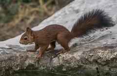 sciurus vulgaris (Josep M.Toset) Tags: animalia chordata catalunya bosc d500 fauna nikon josepmtoset mamífer omnívor lurgell rosegadors esquirol esciürins sigma150600mmf563sports