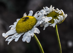 the Dancer (Augustė Dukauskaitė (očiaaš)) Tags: dancer flower nature yellow white daisy muse contrast trip forest sunset closeup photo photography countryside s scenery paysage lines