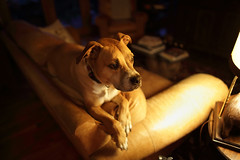 couch potato (csnyder103) Tags: trevor canoneos6d rokinon24mmf14 narrowdepthoffield couch perched rescue