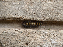 Hairy caterpillar (prondis_in_kenya) Tags: kenya nairobi colddryseason garden hairy caterpillar wall