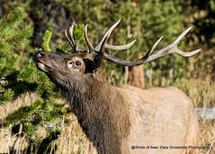 Bull Elk in Rut (Gary Grossman) Tags: elk bull male rut gland rack antlers wild wildlife yellowstone park autumn fall wyoming garygrossmanphotography yellowstonenationalpark nationalpark nature wildlifephotography
