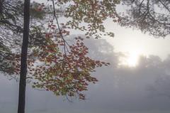 (amy20079) Tags: sky trees tree fog maine newengland autumn mapletree mapleleaves fall nikond5100 sun morning light sunlight treeline silhouettes