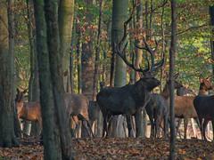 Rothirsch (lebastian) Tags: rothirsch wildgehege animal