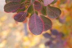 Colors and autumns (Baubec Izzet) Tags: baubecizzet pentax bokeh leaves colorful nature autumn