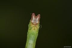 Jodis lactearia (Linnaeus, 1758). mvxa01 Oruga (Jesús Tizón Taracido) Tags: hexapoda insecta lepidoptera geometroidea geometridae geometrinae jodiini jodislactearia